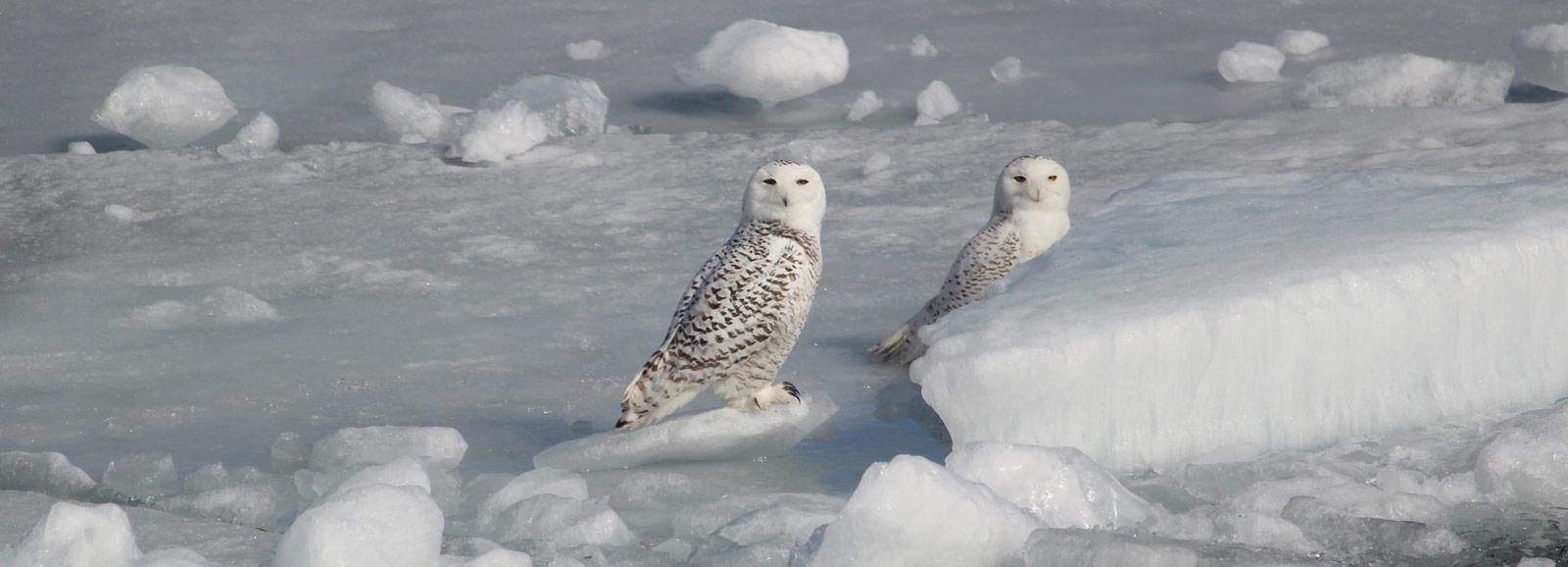slider-snowy-owls