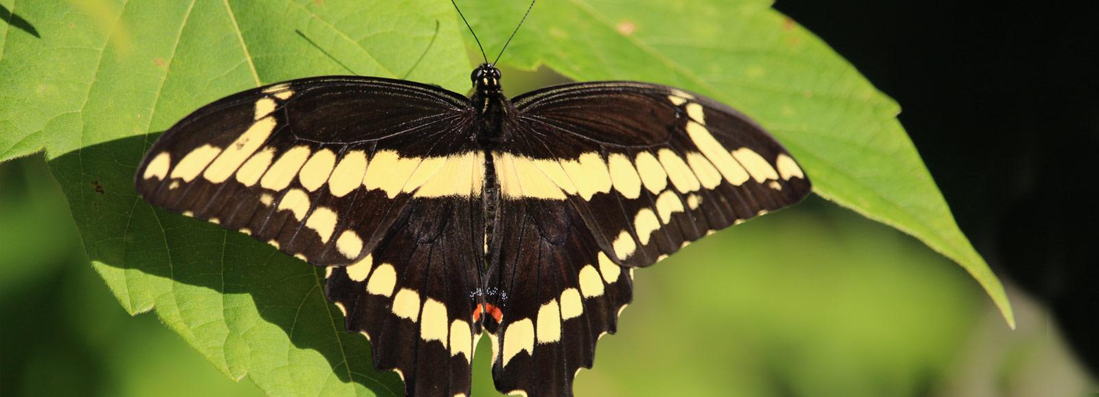 slider-swallowtail